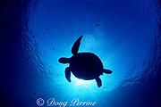 green sea turtle, Chelonia mydas, Sipadan Island, Borneo, Malaysia ( Celebes Sea, Pacific Ocean )