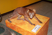 Taxidermy, Stuffed Dhole Asian Wild Dog, hunting trophies, on display in a museum in rural Thailand