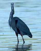 Great Blue Heron (Ardea herodias). Fort De Soto Park. Pinellas County, Florida. Image taken with a Nikon D300 camera and 600 mm f/4 VR lens.