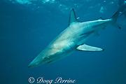 blacktip shark, Carcharhinus limbatus, tagged and released, University of Miami research, Bahamas ( Atlantic Ocean )