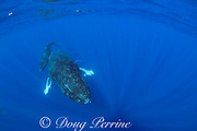 humpback whales, Megaptera novaeangliae, mother and calf; a doublespotted queenfish, Scomberoides lysan, may have been feeding on skin shed by the whales, West Maui, Hawaii, Hawaii Humpback Whale National Marine Sanctuary, USA ( Central Pacific Ocean )