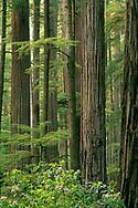 Redwood trees in forest, Del Norte Coast Redwood State Park, Redwood National Park, California
