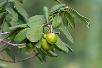 Unripe quince fruits on tree growing in the hills above San Juan Cosala, Jalisco, Mexico