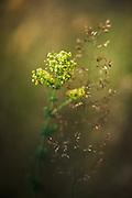 Close-up of lady's bedstraw (Galium verum) in sunlit meadow, near Gramzda, Kurzeme, Latvia Ⓒ Davis Ulands   davisulands.com