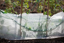 Horticultural fleece and netting protecting young pea plants.