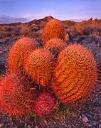 Barrel Cactus Group at Sunset, Mojave National Preserve, California