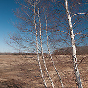 Three birches in the Rough Meadows Wildlife Sanctuary