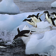 Adelie Penguins jumping into the icy waters off of the Antarctic Peninsula.