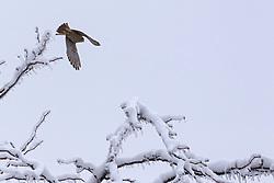 American Kestrel Adult Female (Falco sparverius)