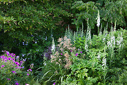 White willowherb, foxgloves and astilbe growing by magnolia and cercidiphyllum at Glebe Cottage. Epilobium angustifolium album
