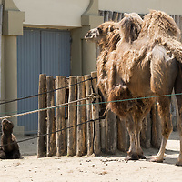 Five days old Bactrian camel (Camelus bactrianus) baby is seen in Budapest Zoo in Budapest, Hungary on June 3, 2020. ATTILA VOLGYI