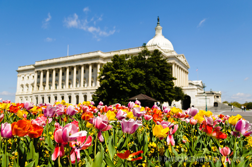 Colorful, multi-colored tulips in full spring bloom in front of the US Capitol Building in Washington DC on a sunny day. The focus is on the flowers in the foreground.
