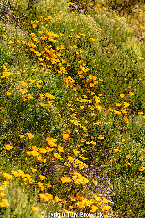 Poppy and Pepper Grass blooming in the Sonora Desert above Black Canyon