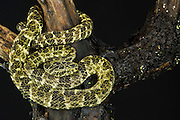 Speckled Forest-pitviper (Bothriopsis taeniata)<br /> ECUADOR. South America<br /> Captive
