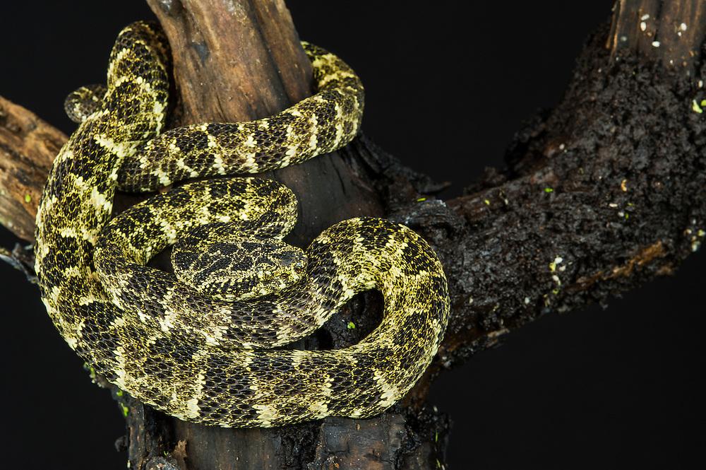 Speckled Forest-pitviper (Bothriopsis taeniata)<br /> ECUADOR. South America<br /> Captive