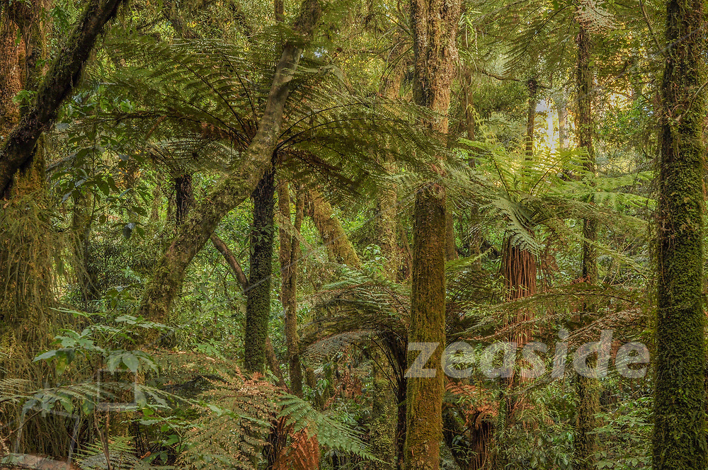 An evening stroll through the stands of tall Totara and other native trees and plants in Pureora Forest Park. This impressive forest is a remainder of North island native forest and is one of most amazing patches of North Island native forest, easily accessible for the public.
