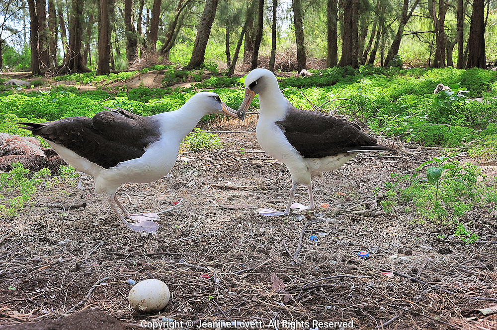 corting and dancing laysan albatross with an egg, plastic and bones on the ground.