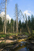 """Abandoned beaver pond on river Vidvide with lots of fallen dead trees and still standing dried spruces (Picea abies, nature reserve """"Ruņupes ieleja"""", Latvia Ⓒ Davis Ulands 