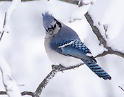 The blue jay was not happy that I was around.  It glared at me over its shoulder in hopes that I would go back into the house so it could fly to the feeder.  It had been snowing for more than a day and the birds were hungry for easy pickings.