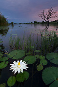 Blue Waterlily (Nymphaea nouchali)<br /> Marakele Private Reserve, Waterberg Biosphere Reserve<br /> Limpopo Province<br /> SOUTH AFRICA<br /> HABITAT & RANGE: Rivers, lakes and pools in southern and eastern South Africa north to tropical Africa & India