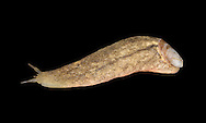 Atlantic Shelled Slug - Testacella maugei