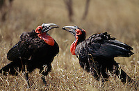 A female southern ground hornbill offers food to a male.