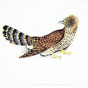 Common hawk-cuckoo (Hierococcyx varius Syn Cuculus varius) 18th century watercolor painting by Elizabeth Gwillim. Lady Elizabeth Symonds Gwillim (21 April 1763 – 21 December 1807) was an artist married to Sir Henry Gwillim, Puisne Judge at the Madras high court until 1808. Lady Gwillim painted a series of about 200 watercolours of Indian birds. Produced about 20 years before John James Audubon, her work has been acclaimed for its accuracy and natural postures as they were drawn from observations of the birds in life. She also painted fishes and flowers.