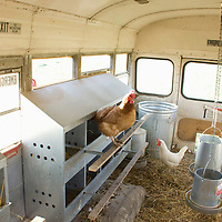 The inside of the range rover is home to 60 chickens at night, but the day is spent free range visiting the bus's nests only for laying and rest.