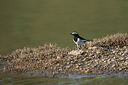 White-browed wagtail (Motacilla maderaspatensis)<br /> National Chambal Sanctuary or National Chambal Gharial Wildlife Sanctuary<br /> Madhya Pradesh, India