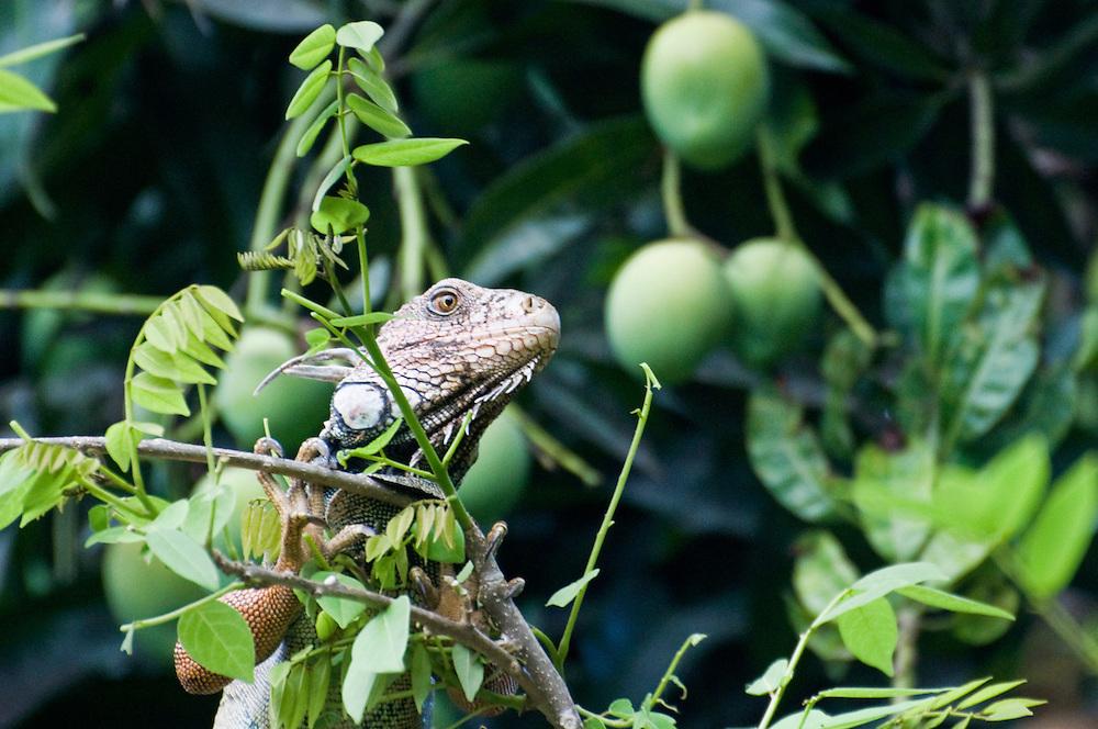 Black Ctenosaur (Ctenosaura similis), Dominical, Costa Rica.  April 2009.  (Photo/William Byrne Drumm)