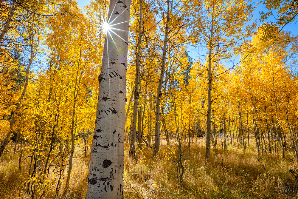 """""""Aspen at Fredrick's Meadow 10"""" - Photograph of bear claw scratches and yellow aspen in the fall at Fredrick's Meadow, near Lake Tahoe and Fallen Leaf Lake."""