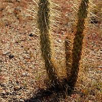 USA, California, San Diego County. Cholla cactus of Anza-Borrego Desert State Park.