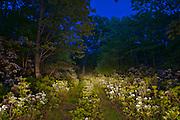 mountain laurel path at dusk, woodland scene