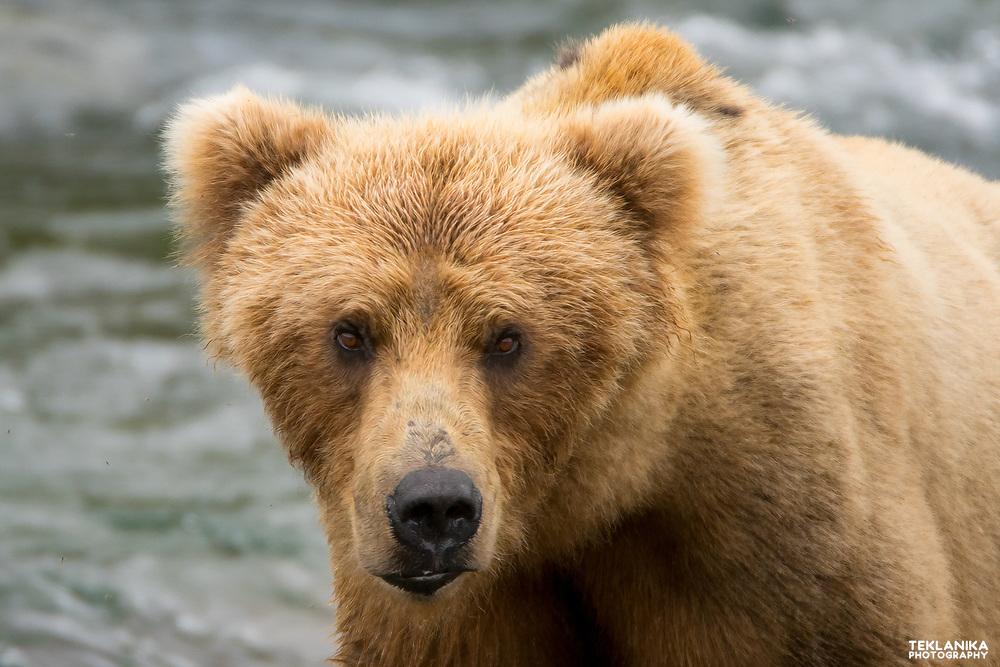 A brown bear pauses while fishing near Katmai National Park's Brooks Falls.