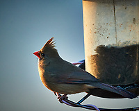 Female Northern Cardinal. Image taken with a Nikon D5 camera and 600 mm f/4 VR lens (ISO 1600, 600 mm, f/4, 1/800 sec).