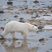 A female polar bear, the mother of a cub who was taken from her, killed and eaten by a large male polar bear near Cape Churchill.