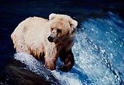 Blond Brown Bear or Grizzly Bear, Ursus Arctos, eyeing approaching bear, brink of Brooks Falls, Katmai National Park, Alaska.