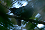 Piñas, Ecuador - Thursday, Jan 10 2008: A Long-wattled Umbrellabird (Cephalopterus penduliger) sits on a branch in Buenaventura Reserve, El Oro province, Ecuador.  (Photo by Peter Horrell / http://www.peterhorrell.com)