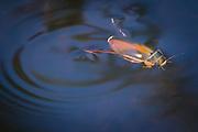 Diving beetle. Arne, Dorset, UK.