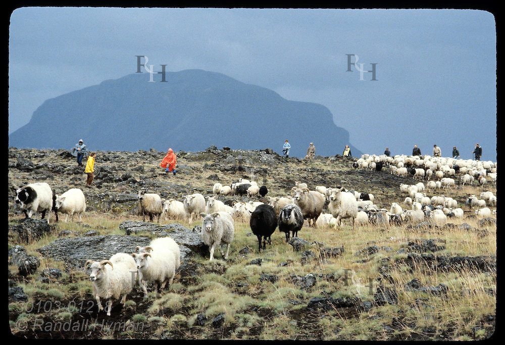Farm families herd sheep rescued from cinder-buried pastures days after 1980 Hekla eruption. Iceland