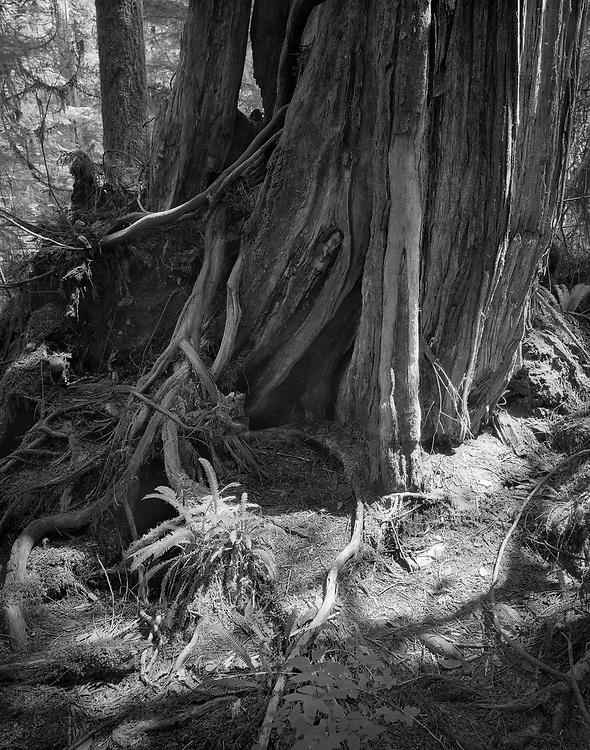 Sunlight and giant, Rainforest trail, Tofino, BC