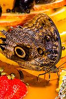 The Brazilian Owl butterfly (Caligo brasilensis), Parque des Aves (Bird Park), Foz do Iguacu, Brazil.