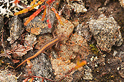 Newt found in the lower reaches of Glen Strathfarrar, thought to be a palmate newt.