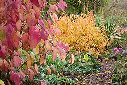 Cornus sericea 'Hedgerows Gold' with Cornus sanguinea 'Midwinter Fire', Cynara cardunculus (cardoon) and Yucca gloriosa 'Variegata'