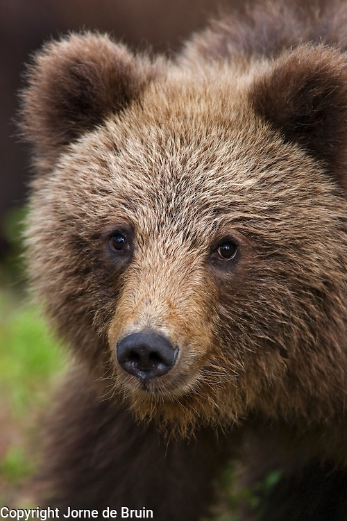A close-up portrait of an Eurasian Brown Bear cub in the forest of Finland