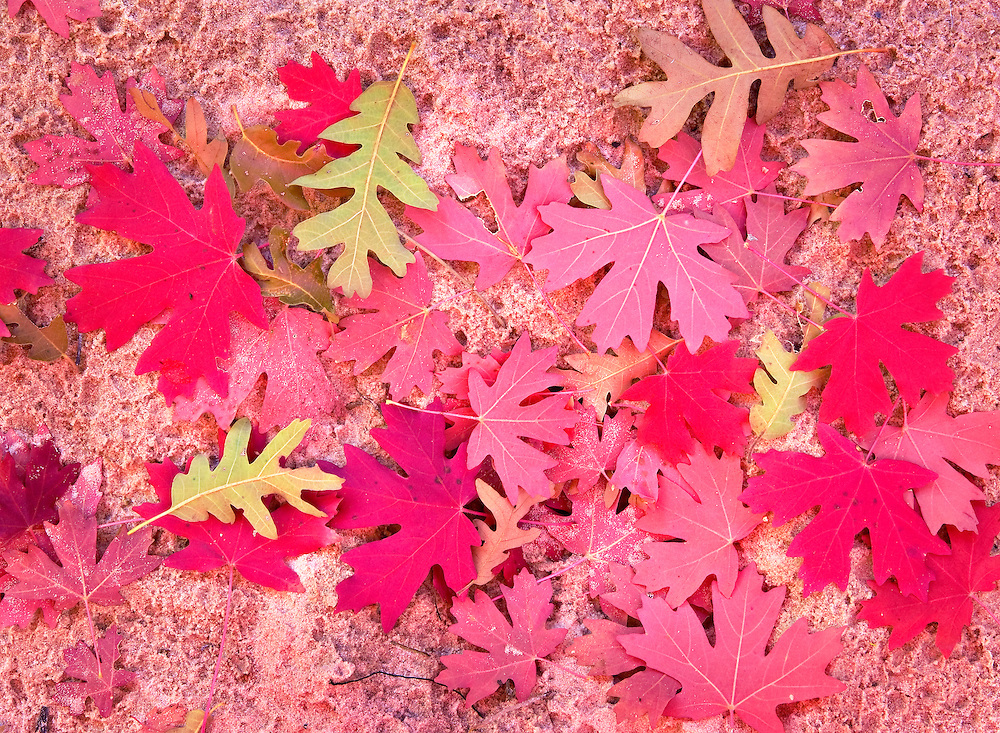 Autumn Oak and Maple Leaves Design on Creek Bed Sand, Zion National Park, Utah