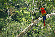 Scarlet Macaw<br />Ara macao<br />Serjali Clay Lick, Mishagua River. Amazon, PERU<br />SOUTH AMERICA