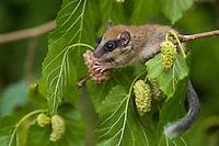 Baumschlaefer, Forest dormouse (Dryomys nitedula) feeding on muleberry