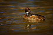 Lesser Scaup (Aythya affinis) Fort Worth, Texas <br /> Female<br /> animals<br /> wildlife<br /> birds<br /> duck<br /> waterfowl<br /> web-footed