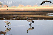 a flock of Common crane (Grus grus) Silhouetted at dawn. Photographed in the Hula Valley, Israel, in January